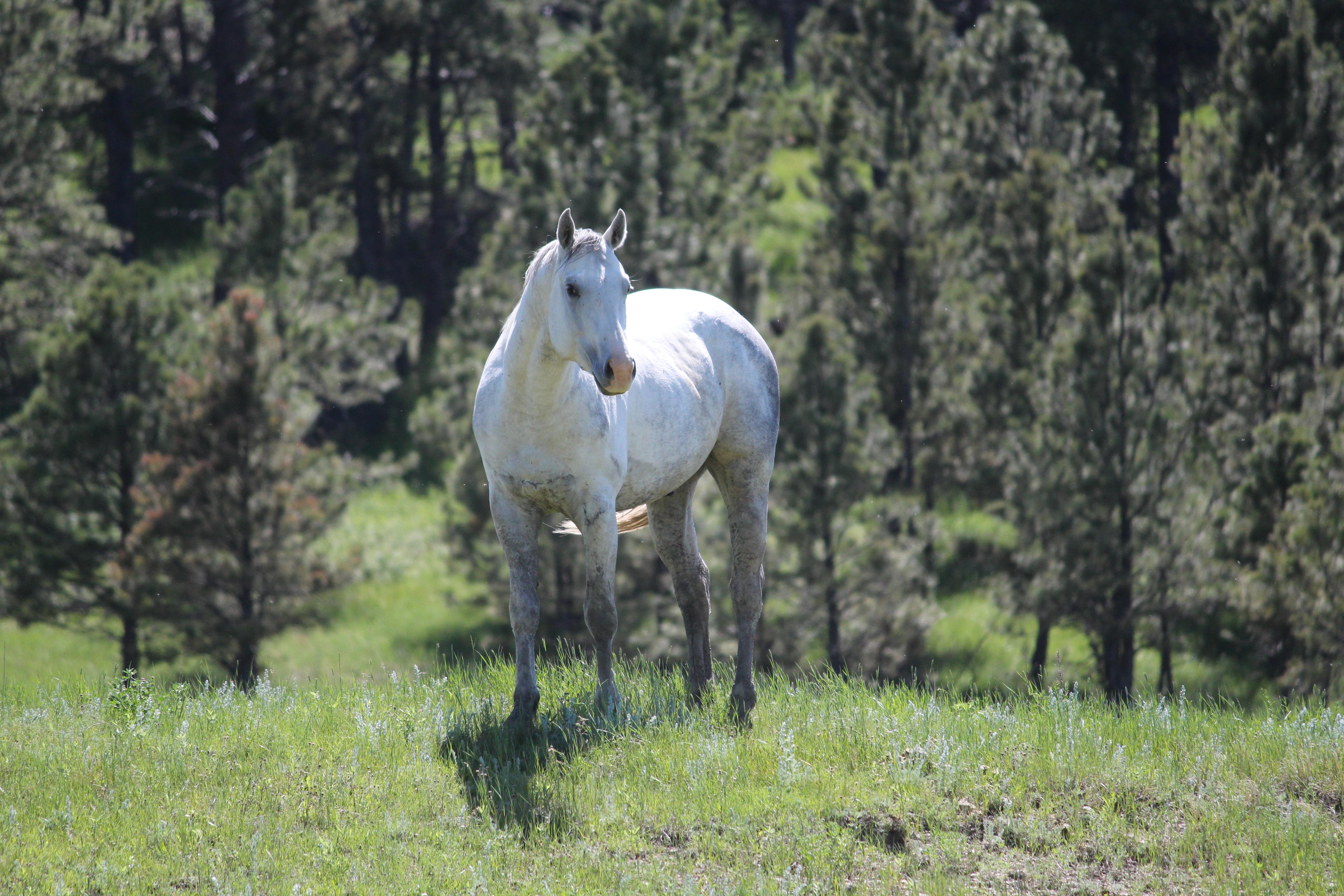 Judgemental AQHA Stallion