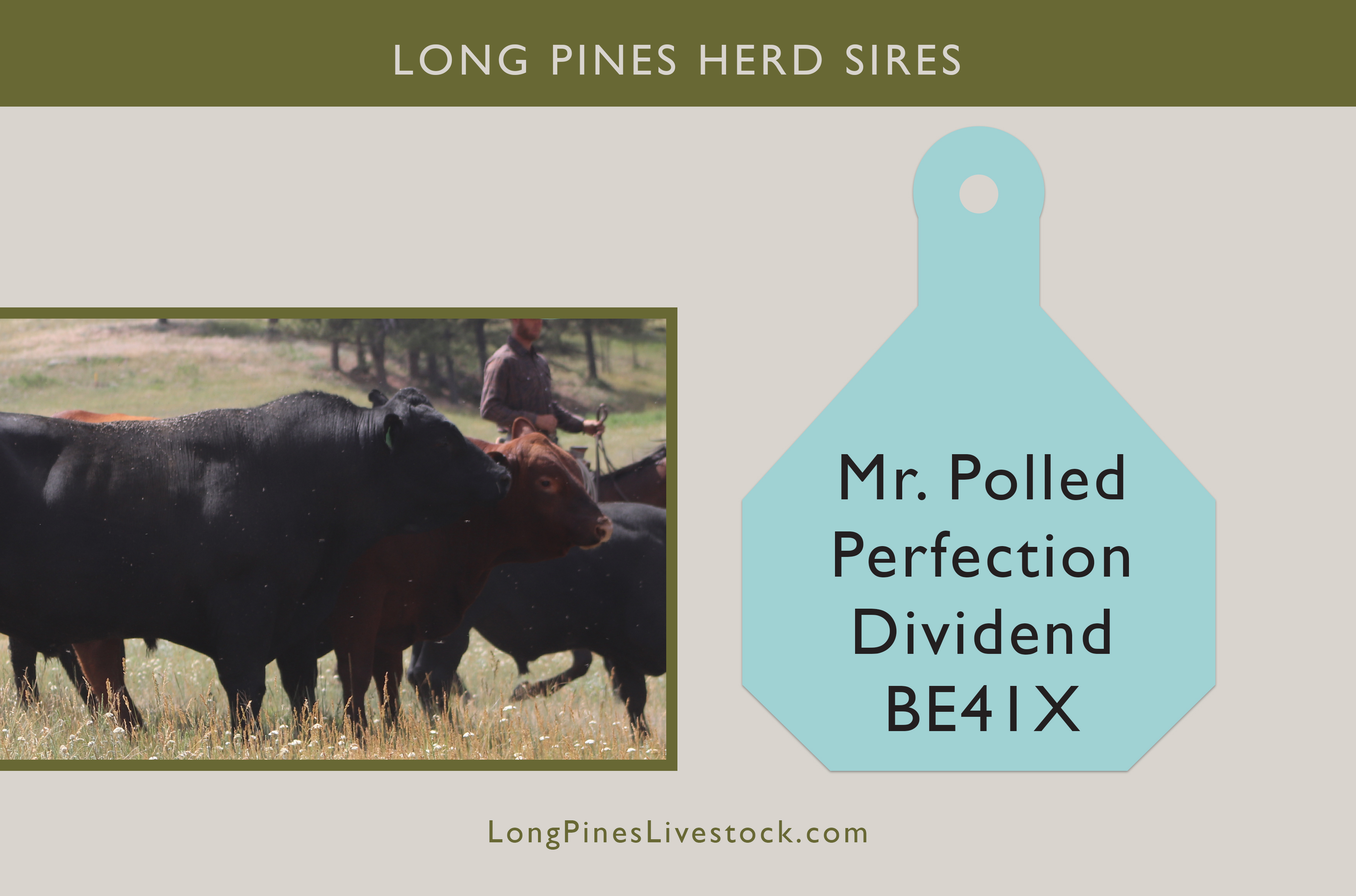 Irish Black Cattle | Long Pines Herd Sire
