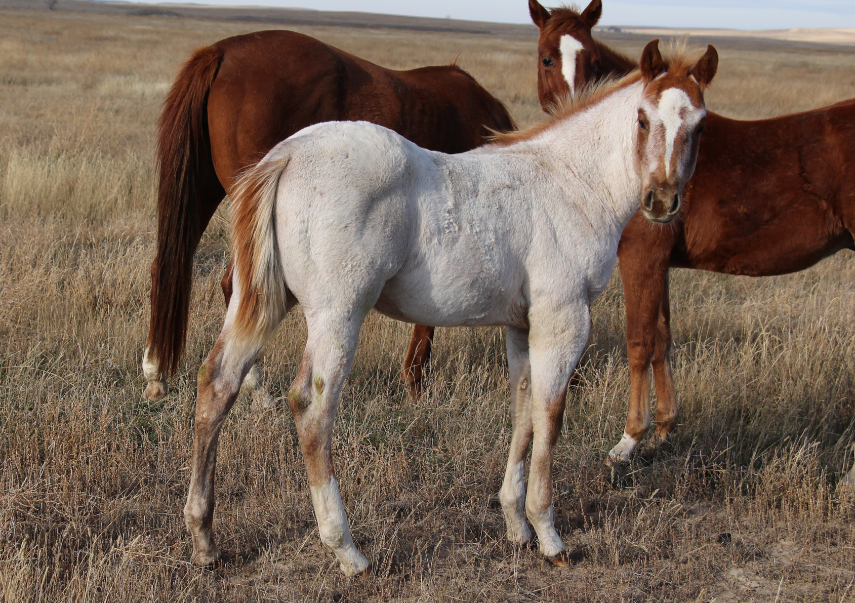July 2017 red roan stallion sired by Bettin Yer Smart. Dam is Spark Plug Cat (Shining Spark daughter).