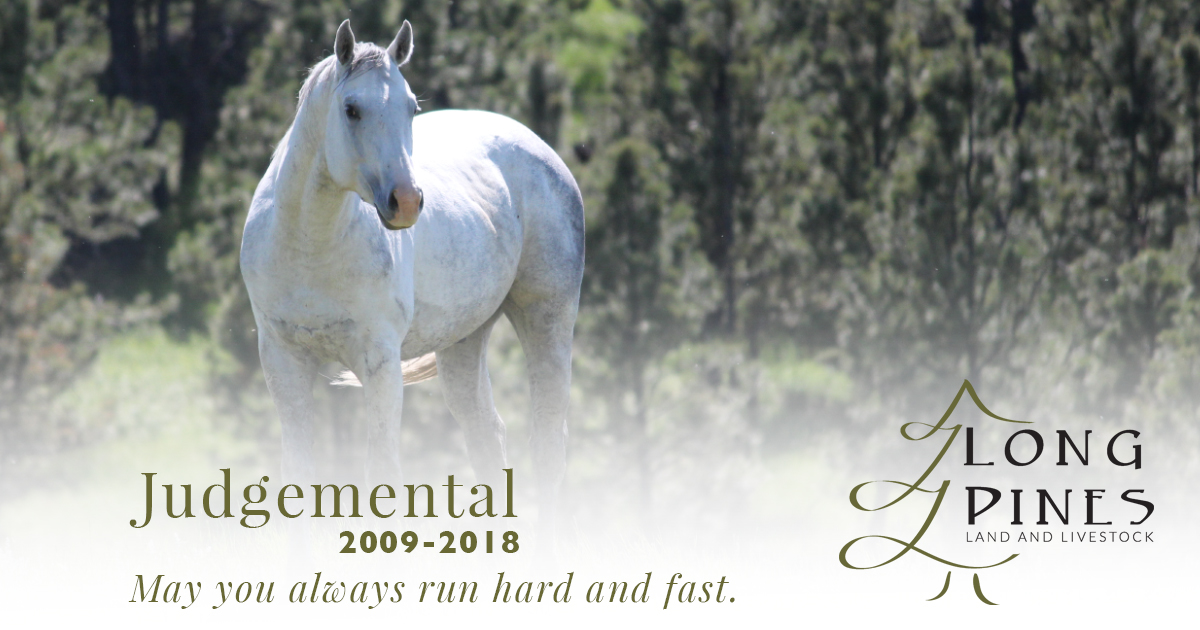Judgemental AQHA Stallion