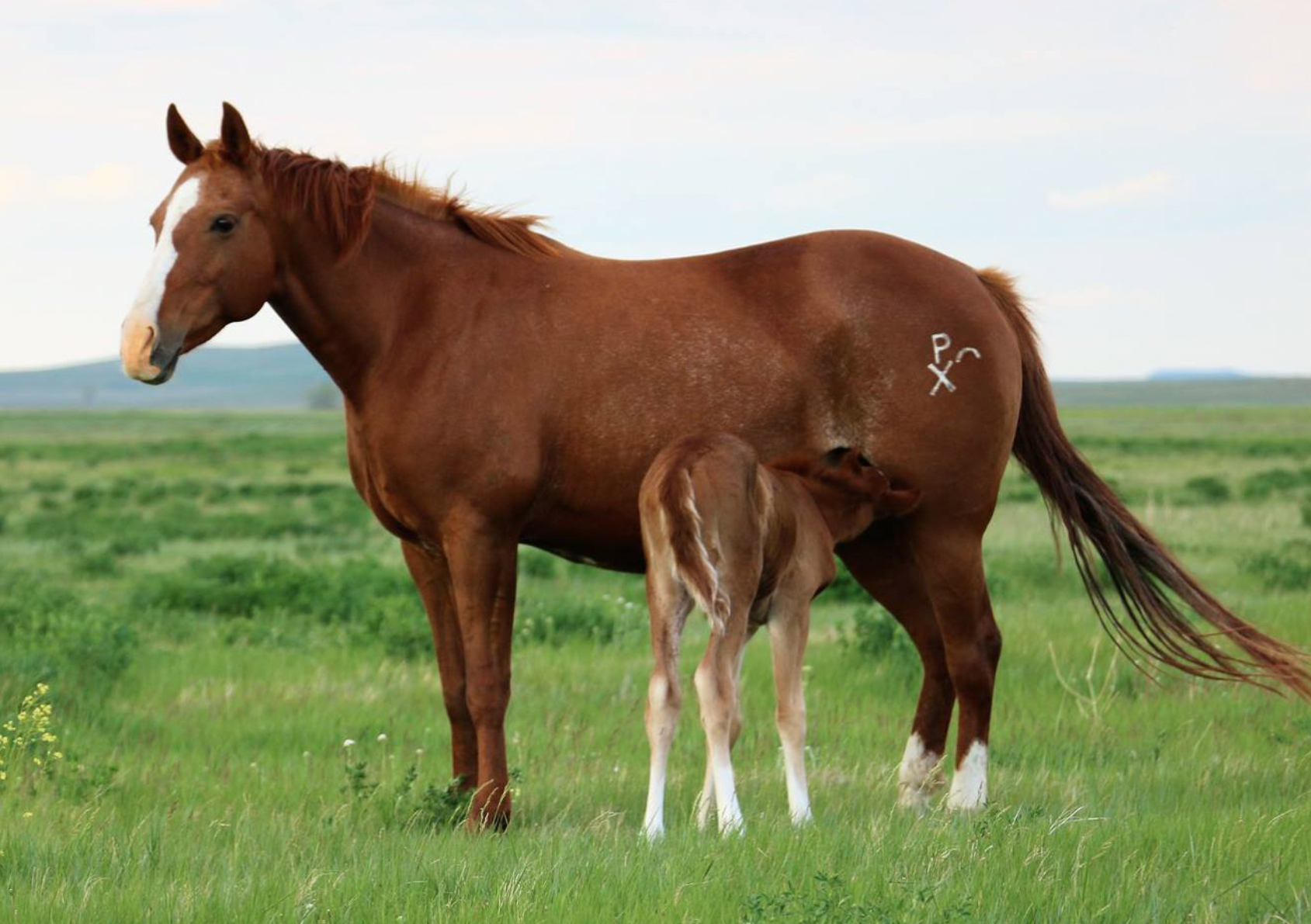 Smart Miss Dual Rey | Long Pines AQHA Mare