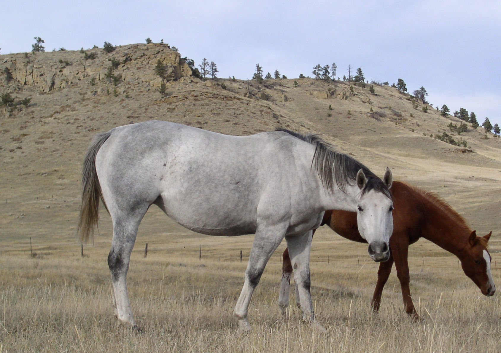 Feature Coup | Long Pines AQHA Mare