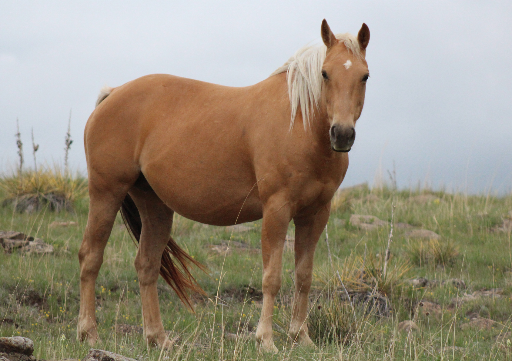 Shiney Vaca Reina | Long Pines AQHA Mare
