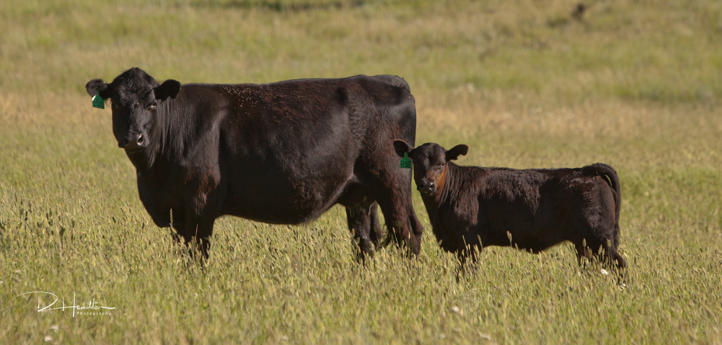 Irish Black Cattle on the Long Pines Ranch