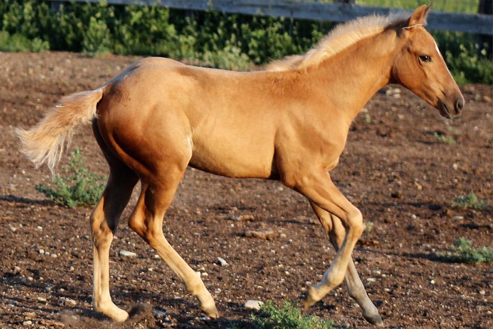 Smart Vaca Reina | Long Pines AQHA Prospect