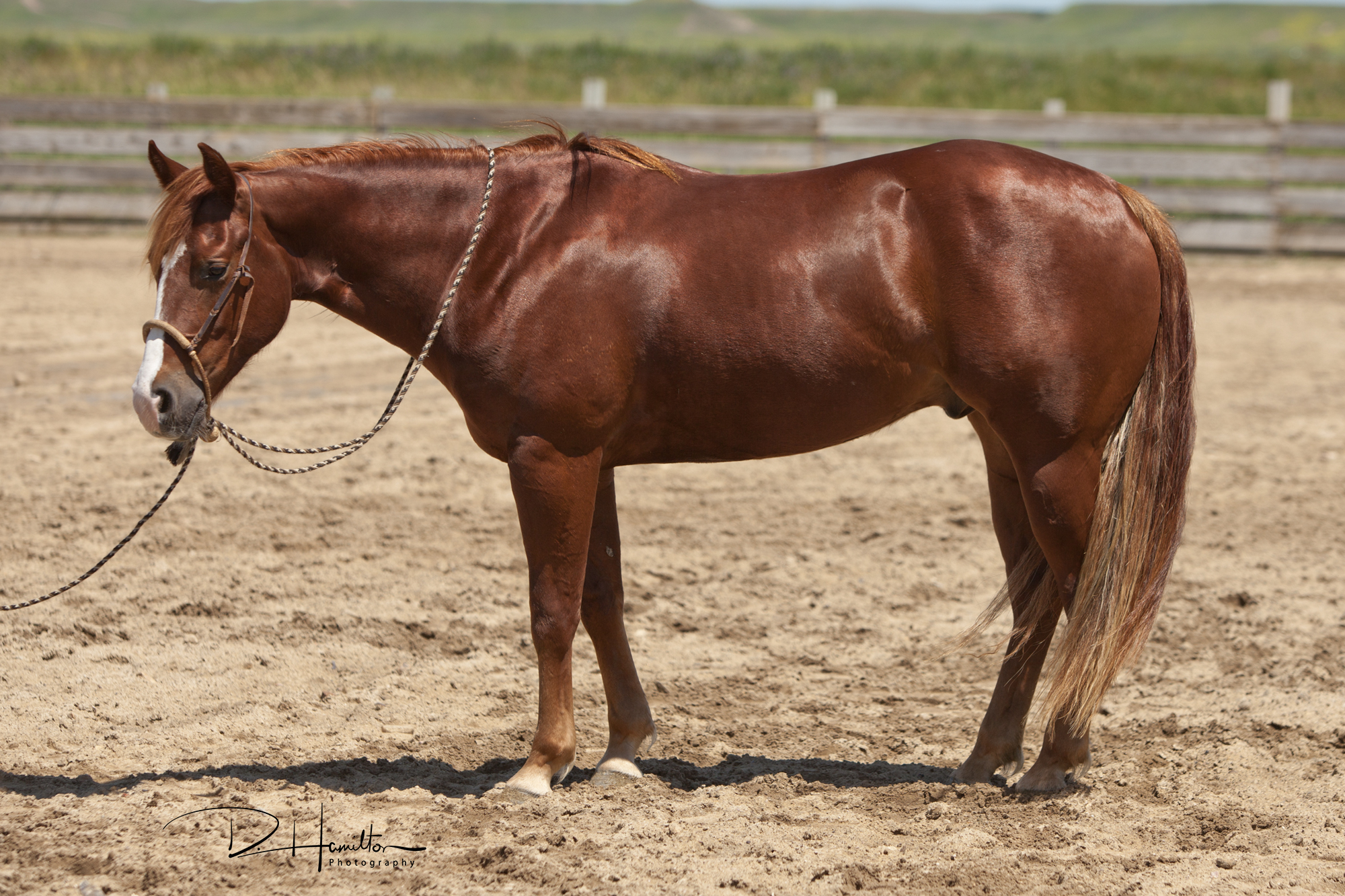 Smokin The Jay | Long Pines AQHA Prospect