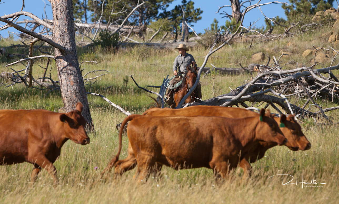 Cows IMG_2273