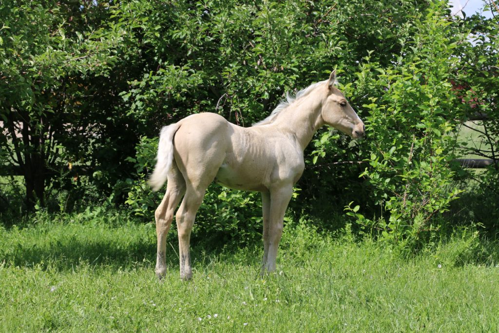 Fletch Yer Gun | Long Pines AQHA Prospect