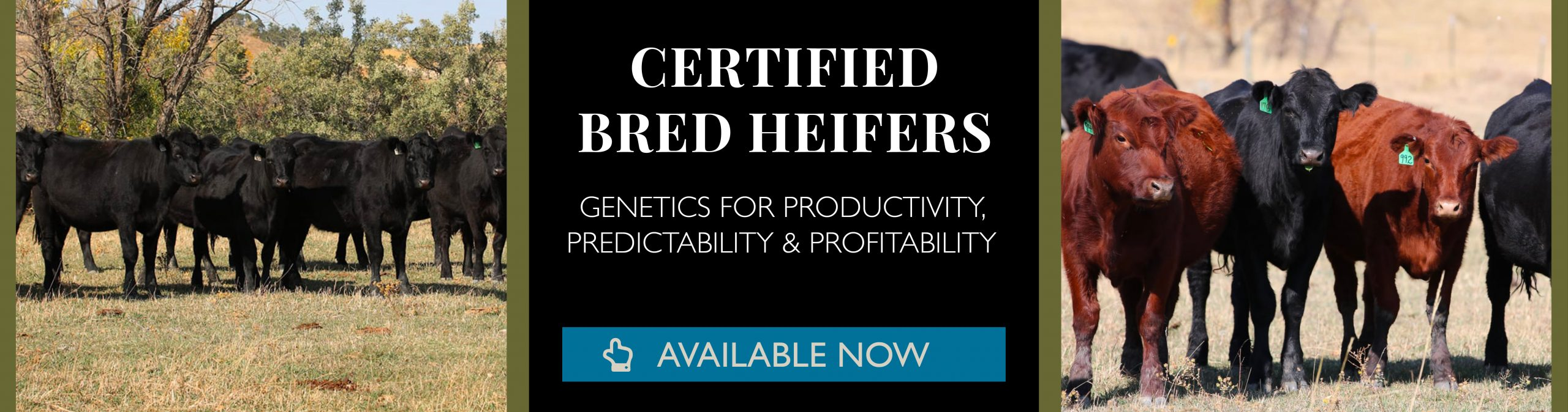 Bred Heifers Available