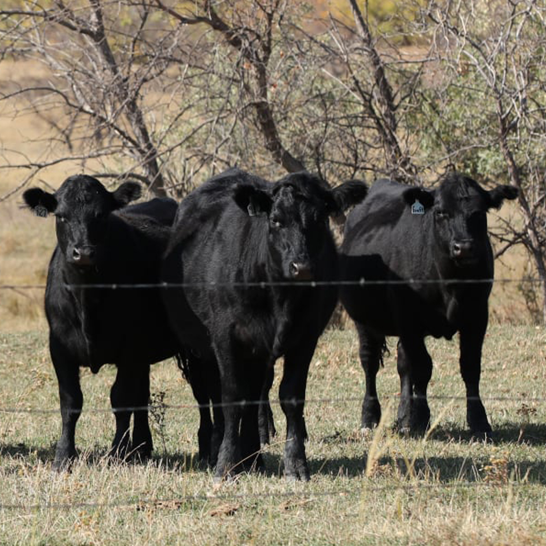 Bred Heifers for Sale | Fall 2020